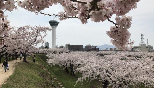 函館五稜郭公園の桜の見所と魅力!道産子がおすすめする花見の時期はいつ?